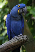 Anodorhynchus hyacinthinus -Disney -Florida-8