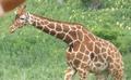 Columbus Zoo Giraffe