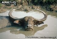 Female-Asian-buffalo-wallowing-in-muddy-pool