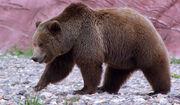 Grizzly-bear-1.jpg