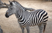 Houston Zoo Zebra