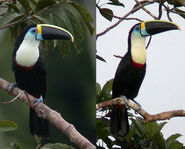 Male and female channel-billed toucanss