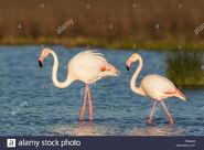 Male and Female Flamingos