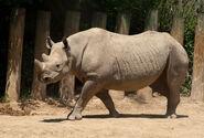 Photo-detail-asia-black-rhino-5
