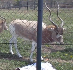 Rolling Hills Zoo Addax.png