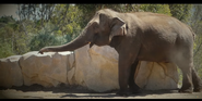San Diego Zoo Sri Lankan Elephant