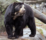 Spectacled bear (Tremarctos ornatus).jpg