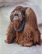 Bornean Orangutan (V2)