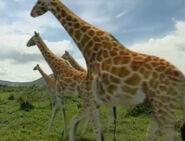HugoSafari - Giraffe13