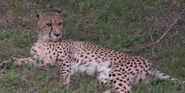 Jacksonville Zoo Cheetah