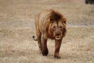 Lion, West African