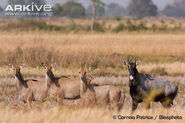 Nilgai-group-male-with-females