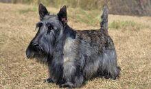 Scottish-Terrier-4-645mk062811.jpg
