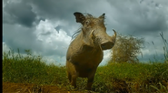 Serengeti Warthog
