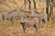 Sounder of Warthogs