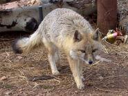 Swift Fox (V2)