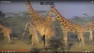 Animal Alphabet with Geoffery Giraffe Giraffes