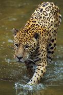 Brazilian jaguar (Panthera onca onca)