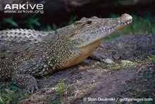 Cuban-crocodile-on-nest-mound.jpg