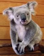 Dodo Heroes Koala