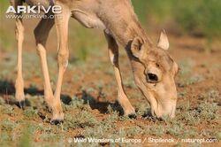 Female-saiga-antelope-feeding.jpg