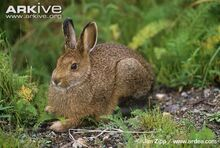 Hare, Snowshoe.jpg