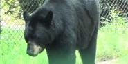 Jacksonville Zoo Bear