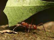 Leaf-cutter-ant 604 600x450.jpg