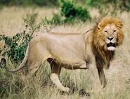Lion, Southern African