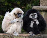 Male and female lar gibbons