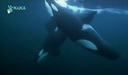 Mama Mirabelle Orcas