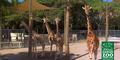Naples Zoo Giraffes