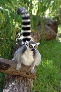 Ring tailed Lemur LG