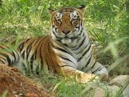 Tiger, Bengal