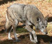 Wolf, red.jpg