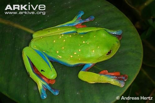 Blue-Sided Leaf Frog