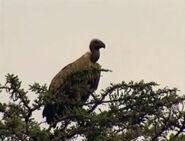 HugoSafari - Vulture10