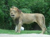 Lion, Transvaal