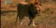 MMHM Lion
