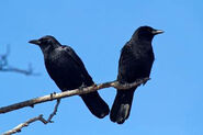 Male and Female Crows
