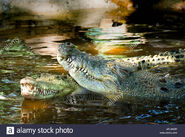 Male and female eastern Nile crocodiles