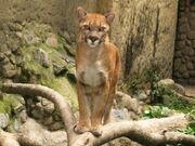 Puma (Puma concolor).jpg