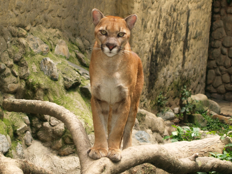 Eastern South American Cougar