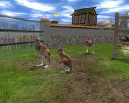 WP2 Red Kangaroo
