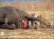 Zambia-luangwa-hyena-dead-elephant013.3