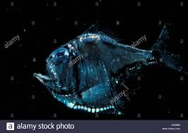 Atlantic Silver Hatchetfish
