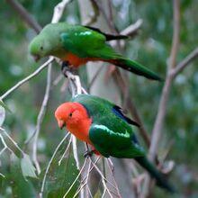 Australian-King-Parrot-2.jpg