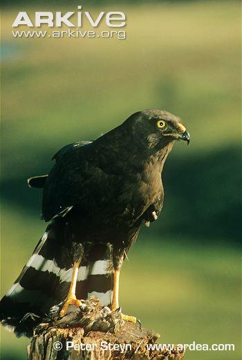 Black harrier
