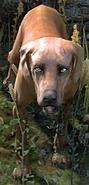 Dog (Elder Scrolls)