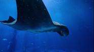 Georgia Aquarium Manta Ray